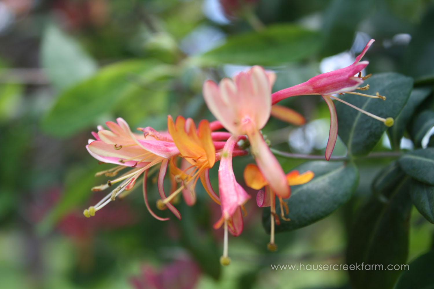 Honeysuckle with hints of pink, orange, yellow, and white