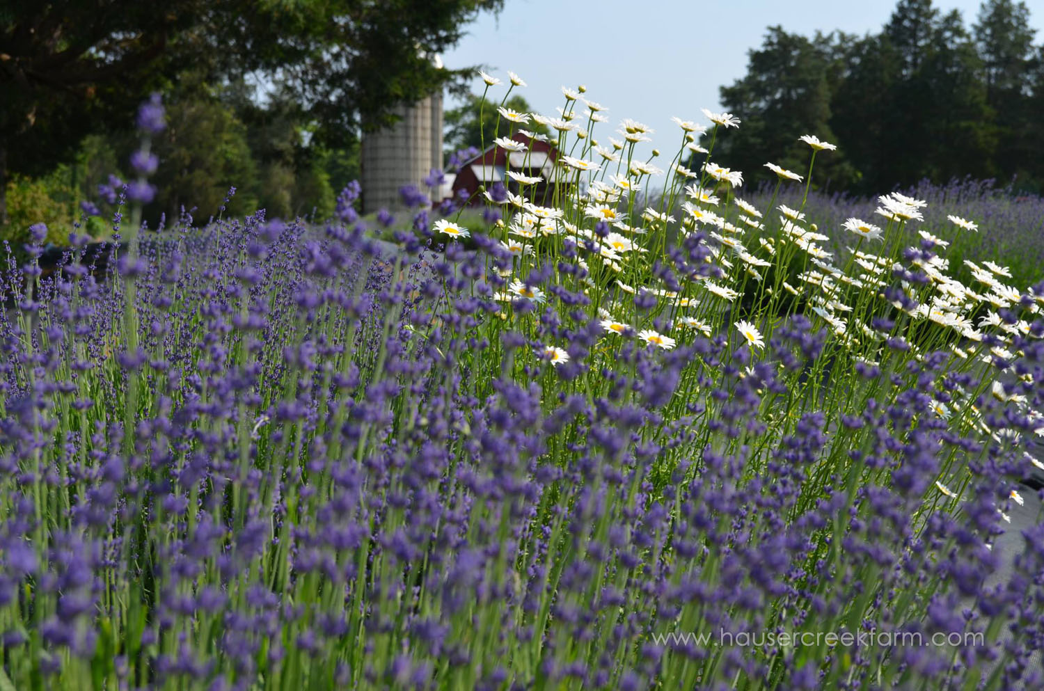 Hidcote Lavender and Daisies Growing in a Field