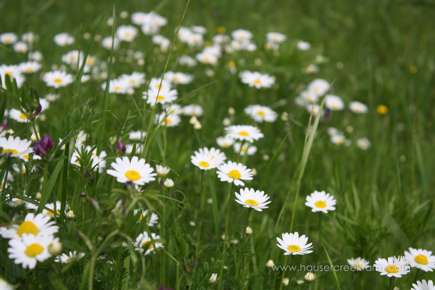 Wild daisies in a field