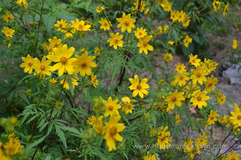 Bur Marigold