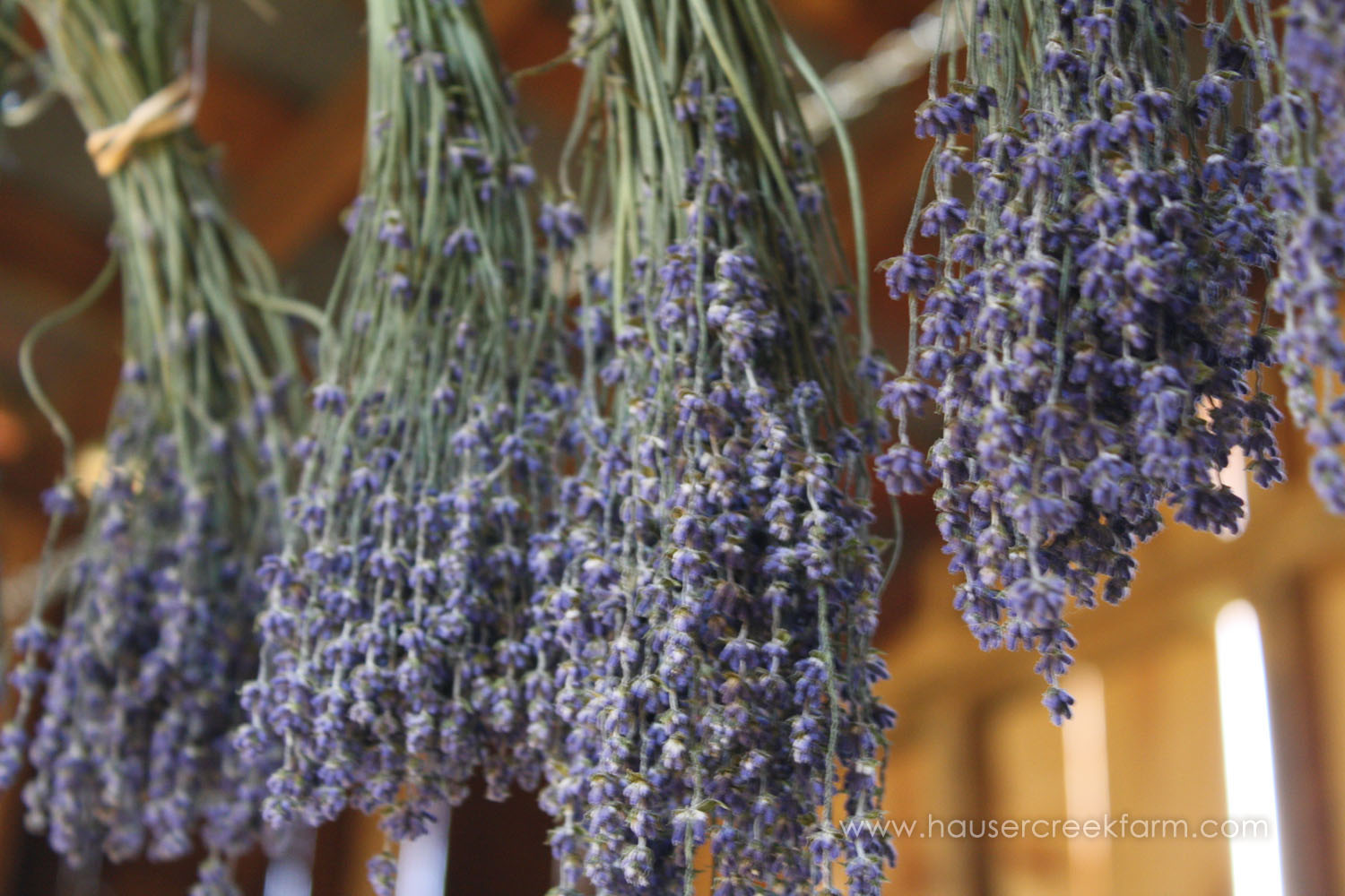 bundles-of-purple-blossom-lavender-plants-hanging-in-barn-upside-down-to-dry-IMG_9041 (2).jpg