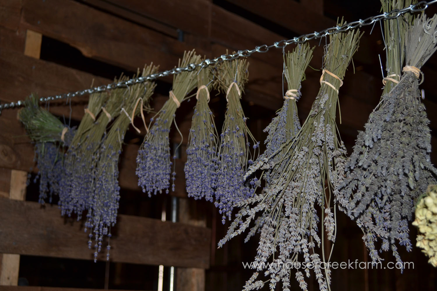 bundles-of-purple-blossom-lavender-plants-hung-upside-drying-in-barn-from-chain-DSC_0557.jpg
