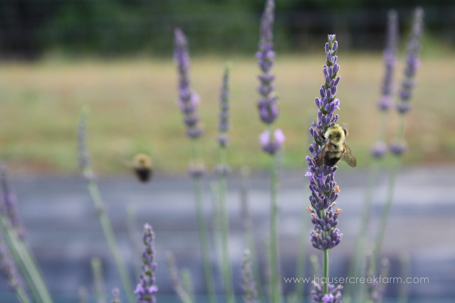 close-up-bee-and-lavender-growing-summer-hauser-creek-farm-IMG_9166.jpg