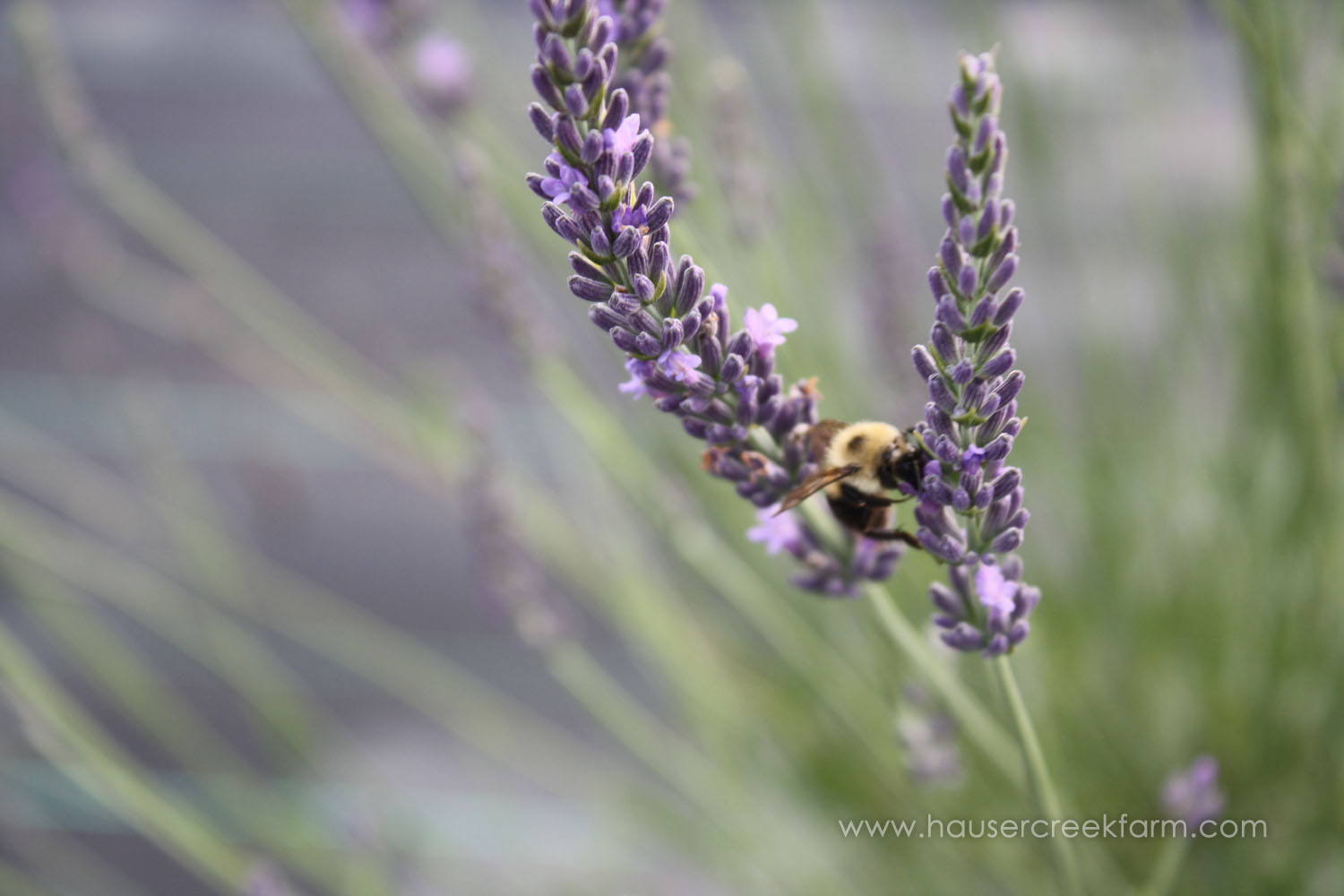 close-up-of-bumble-bee-on-purple-lavender-plant-IMG_9168.jpg