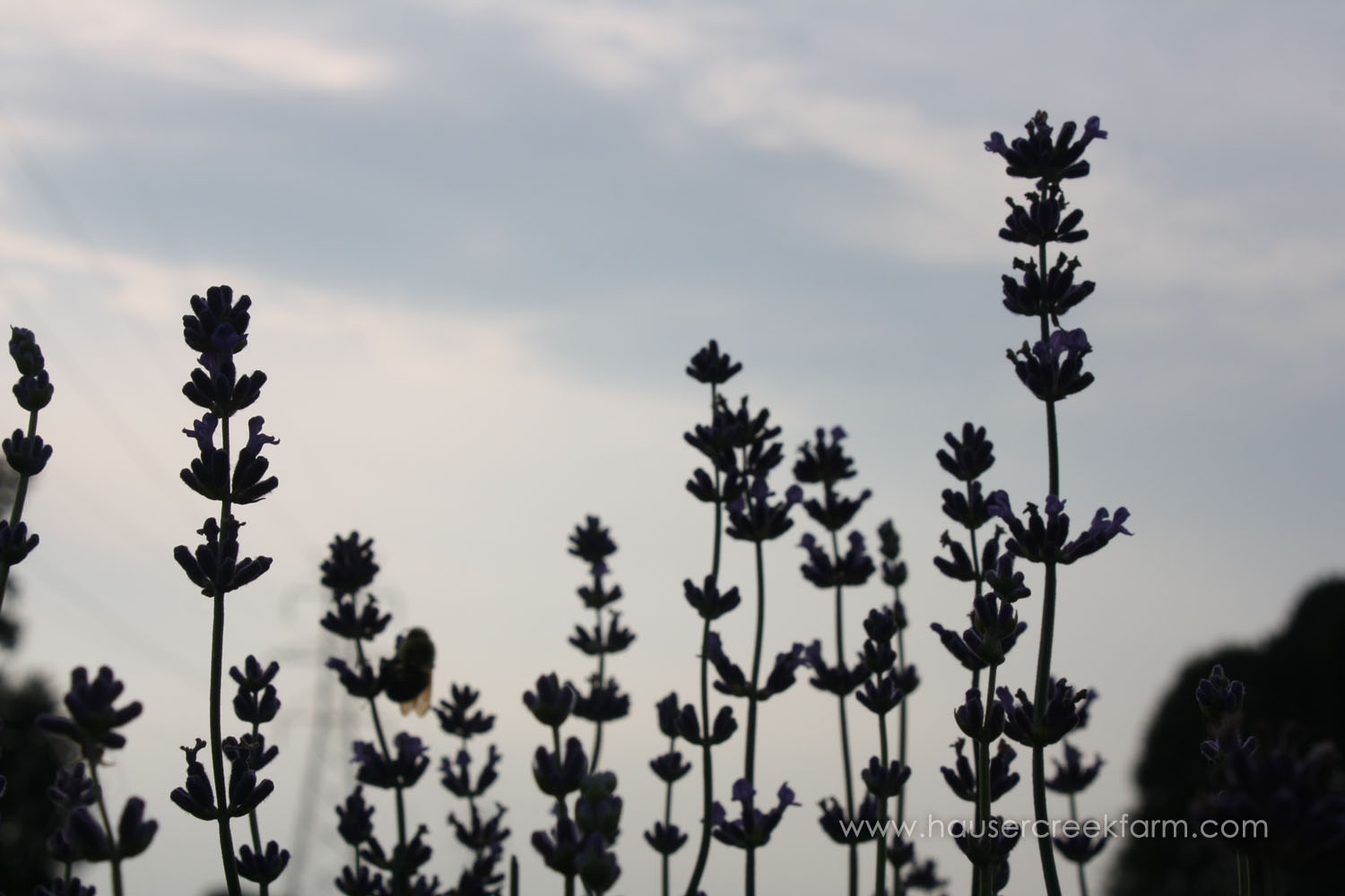 close-up-sillhouette-of-lavender-plants-growing-at-hauser-creek-farm-IMG_9185.jpg