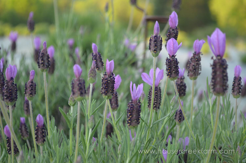 spanish-lavender-blooming-in-field-at-hauser-creek-spanish-farm-may-2015-002 (2).jpg