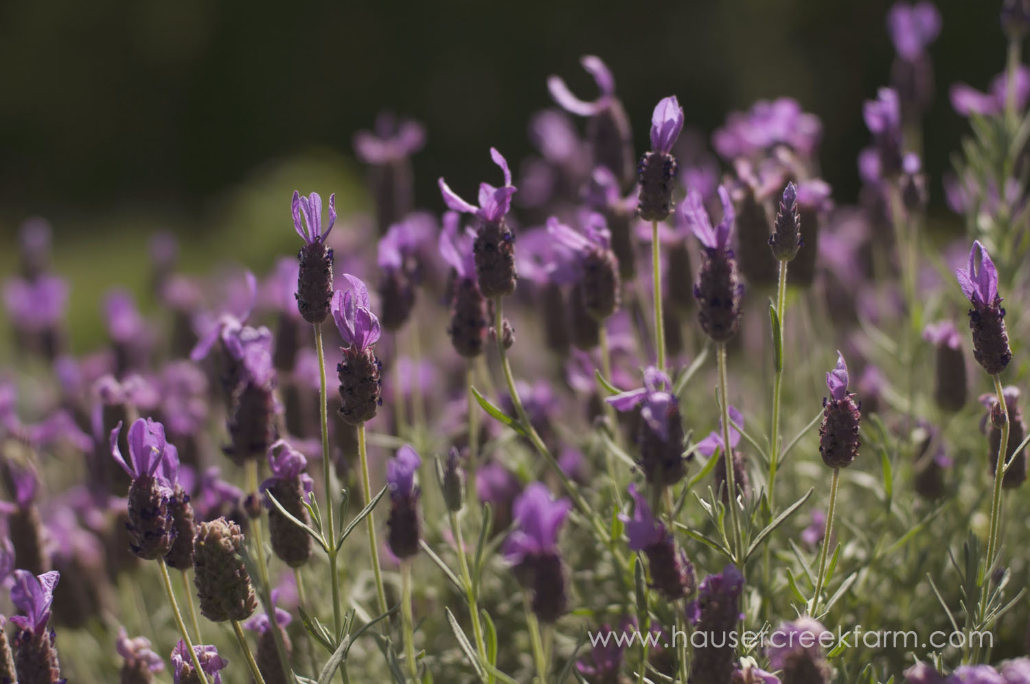 spanish-lavender-for-farm-wedding-a-photo-by-ashley-0267.jpg