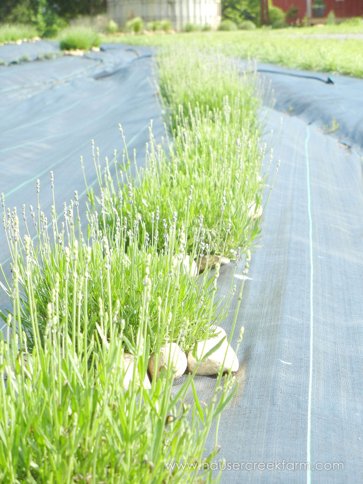 lush-green-rows-of-lavender-plants-growing-on-farm-HCF-Lavender10.jpg
