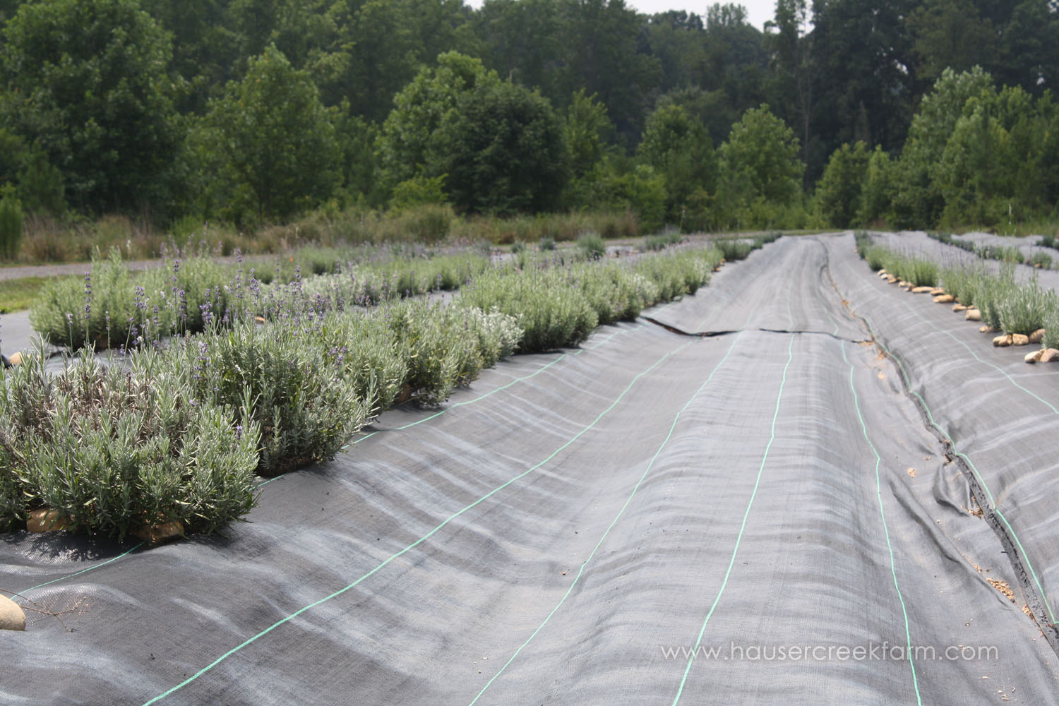 rows of lavender-plants-growing-at-hauser-creek-farm-IMG_0408 (2).jpg