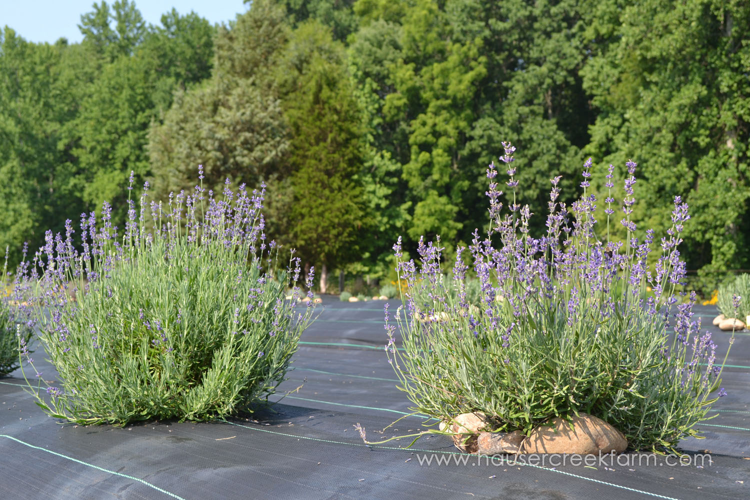 rows-of-purple-blossoms-of-lavender-plants-growing-at-hauser-creek-farm-DSC_0537.jpg