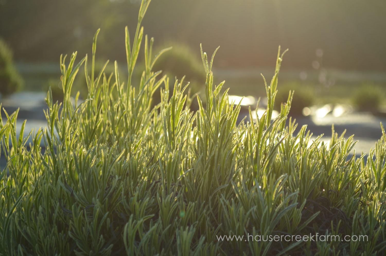 lavender-growing-in-rows-at-hauser-creek-farm-may-2015-012 (2).jpg