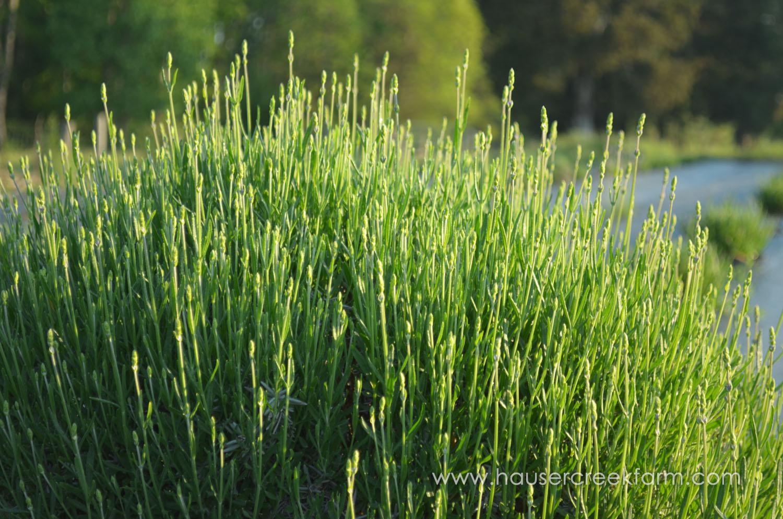 lavender-growing-in-rows-at-hauser-creek-farm-may-2015-017.jpg