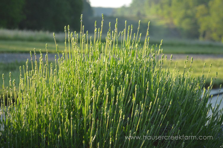 lavender-growing-in-rows-at-hauser-creek-farm-may-2015-034 (2).jpg