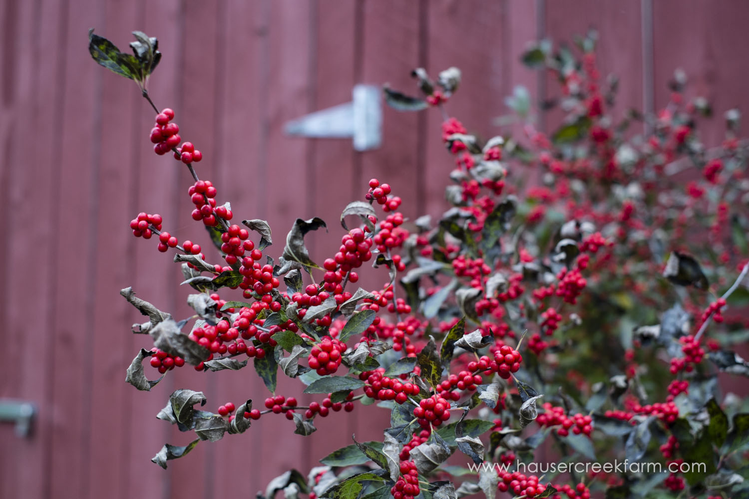 holly-berries-in-front-of-red-barn-wall-photo-by-chris-fowler-1174color.jpg