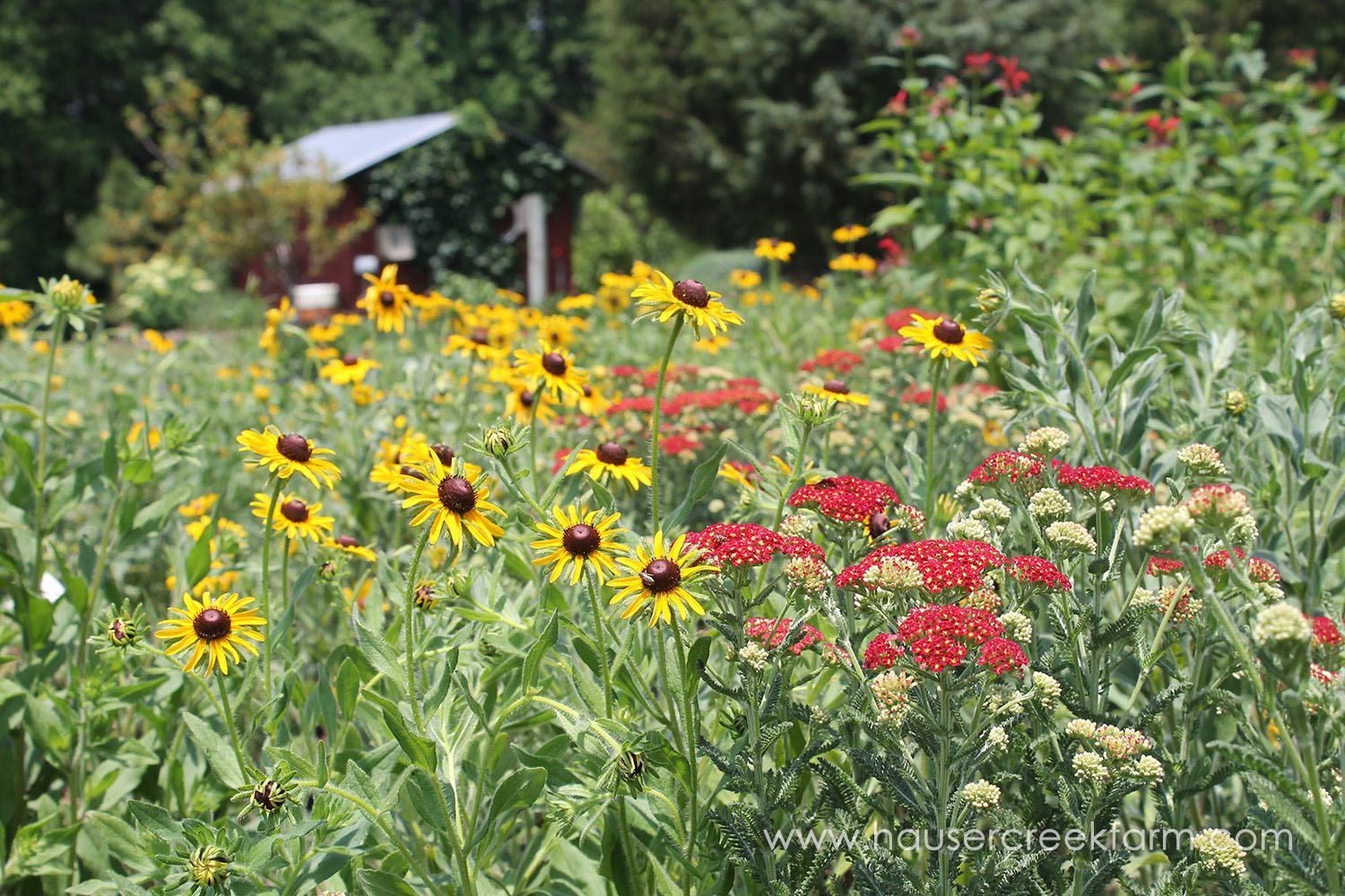 red-building-black-eyed-susans-yarrow-hauser-creek-farm-IMG_1548.jpg