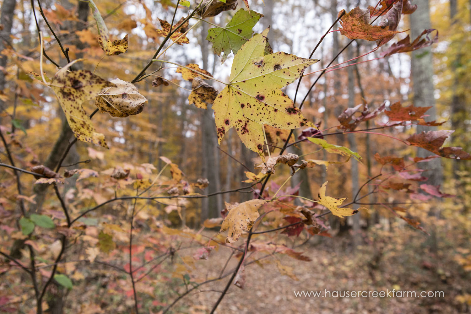 fall-leaves-at-hauser-creek-farm-photo-by-chris-fowler-3630color.jpg