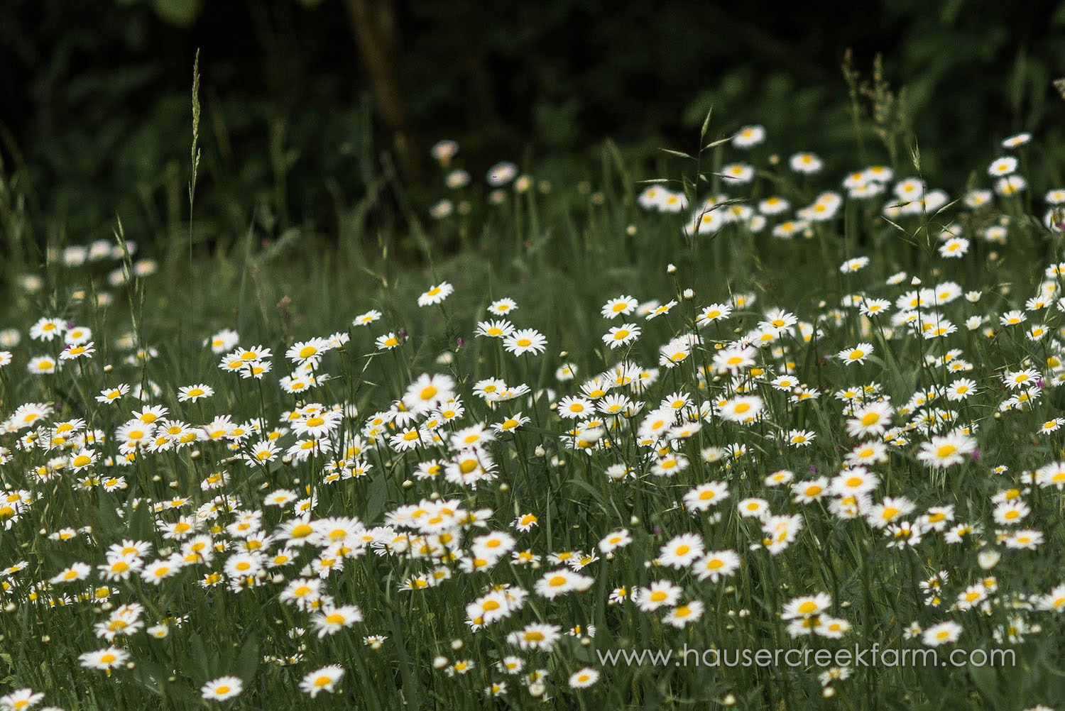 field-of-wild-daisies-at-hauser-creek-farm_2017_721.jpg