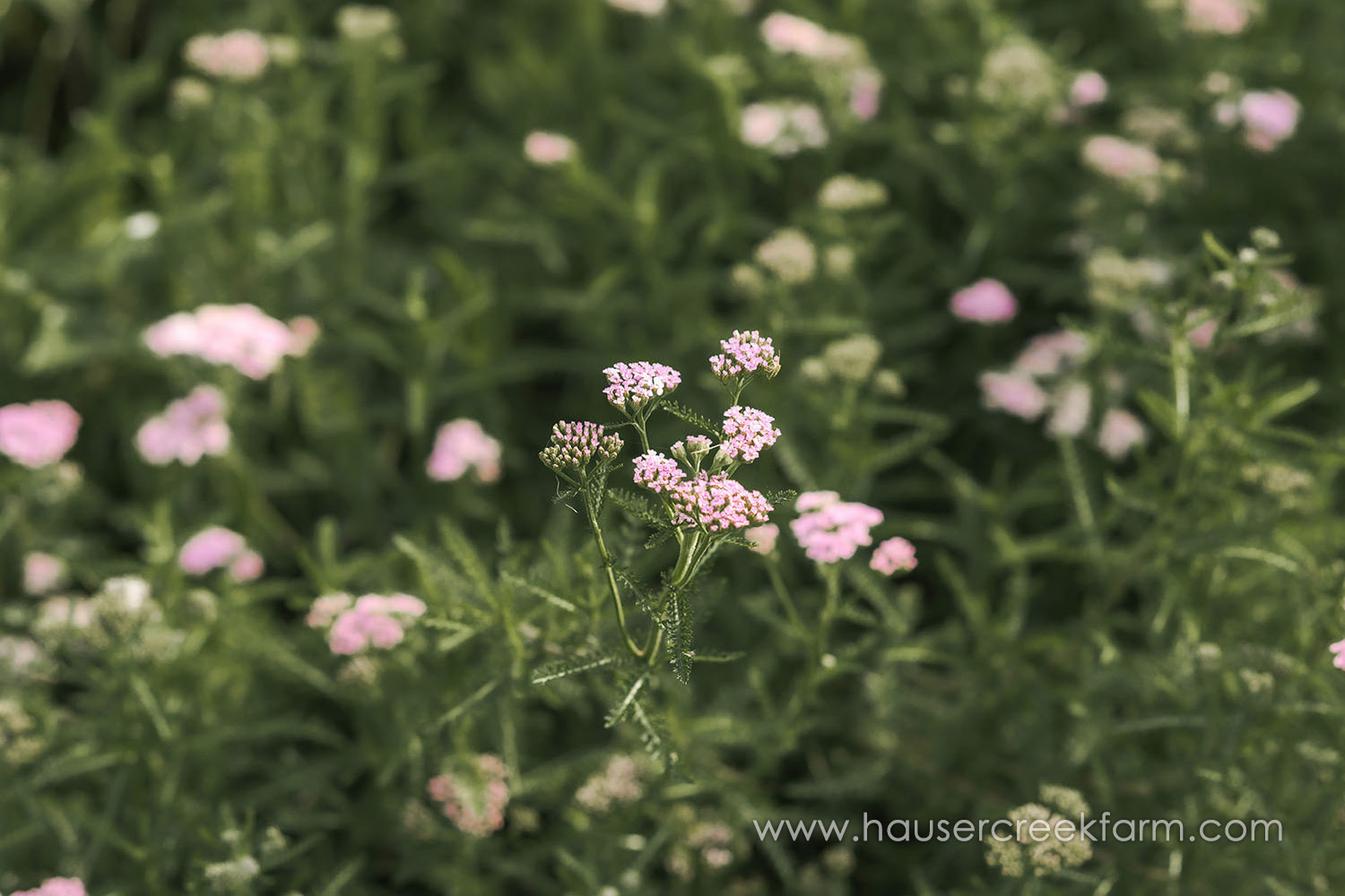 yarrow-at-hauser-creek-farm-in-north-carolina-2017_319.jpg