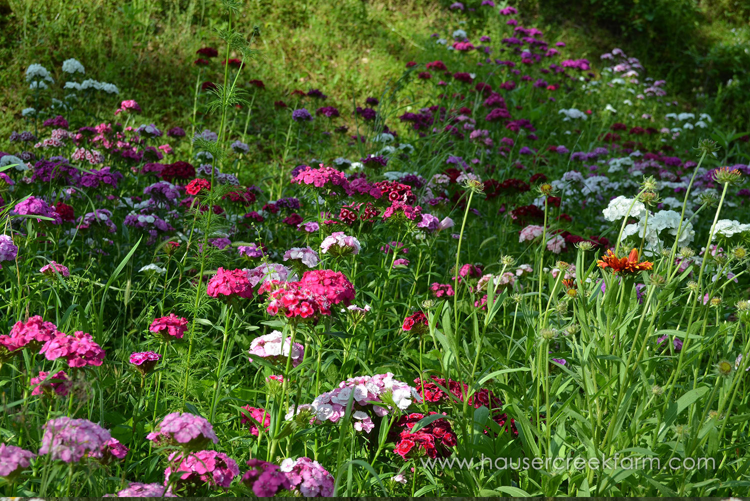 field-of-sweet-william-at-hauser-creek-farm-photo-by-alethea-segal.jpg