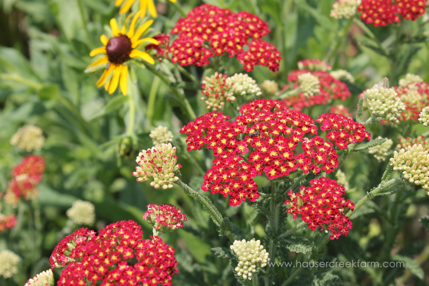 yarrow-black-eyed-susan-open-farm-day-melody-watson-photo-1541.jpg