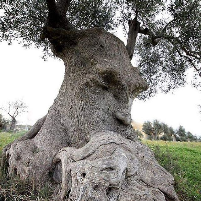 The Thinking Tree :-) :-) An ancient olive tree in Puglia, Italy. . . . . #nature #planetearth #nationalgeographic #earth #earthpix #spiritual #spiritualawakening #spirituality #naturelovers #naturephotography #healing #holistichealing