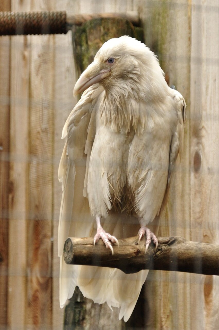 albino raven.jpg