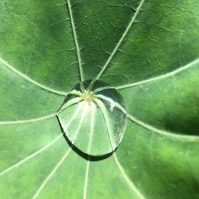 Nasturtium, when your leaves are large and billowy they look like lily pads suspended in the garden air! #nasturtium #edibleflowers #organicgardening