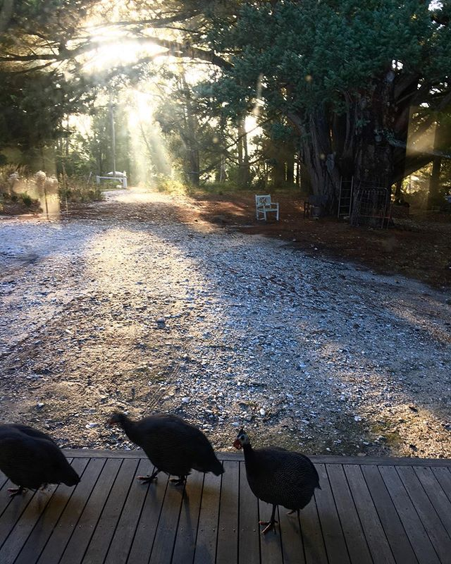 Golden morning light and a guinea fowl welcome to the day. ••• Hello Friday 💫