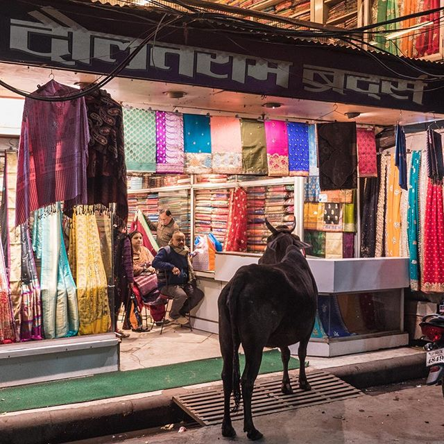 Cow wants a sari . . . . .  #instapassport #aroundtheworldpix #ig_masterpiece #campinassp #flashesofdelight #travelog #mytinyatlas #visualmobs #theglobewanderer #forahappymoment #exploringtheglobe #travelon #animallovers #animalpolis #animalsofinstagram #igscwildlife #animales #exclusive_animals #wildlifephoto #wildlifeaddicts #wildlifephotography #animalworld #awesomeglobe #animalofinstagram