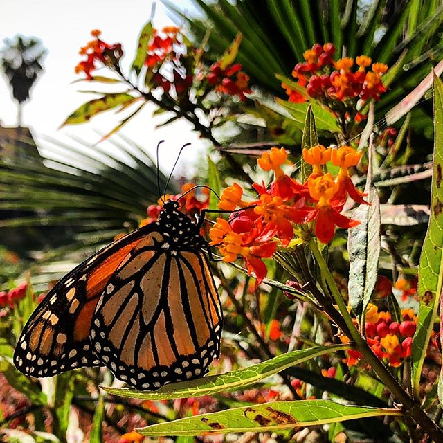 This was a butterfly in Marina del Rey that only knew Latin. We had trouble communicating, but I thought he/she was beautiful. Thanks for the use of your #iphonex @thebolingerfamily #butterfly #beauty #marinadelrey