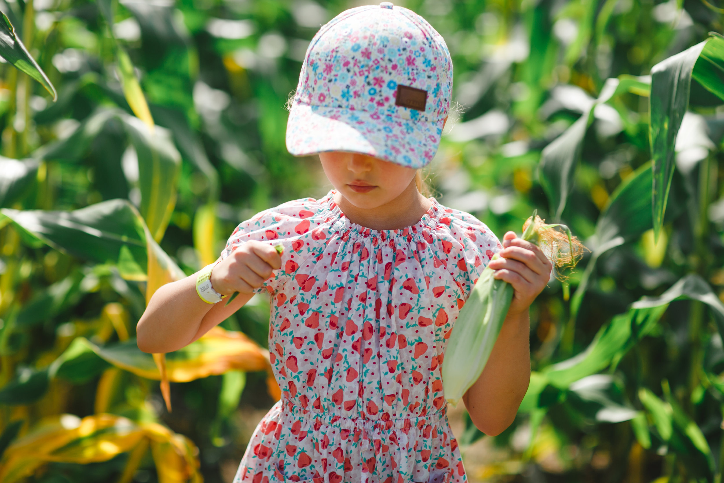 Picking Sweetcorn