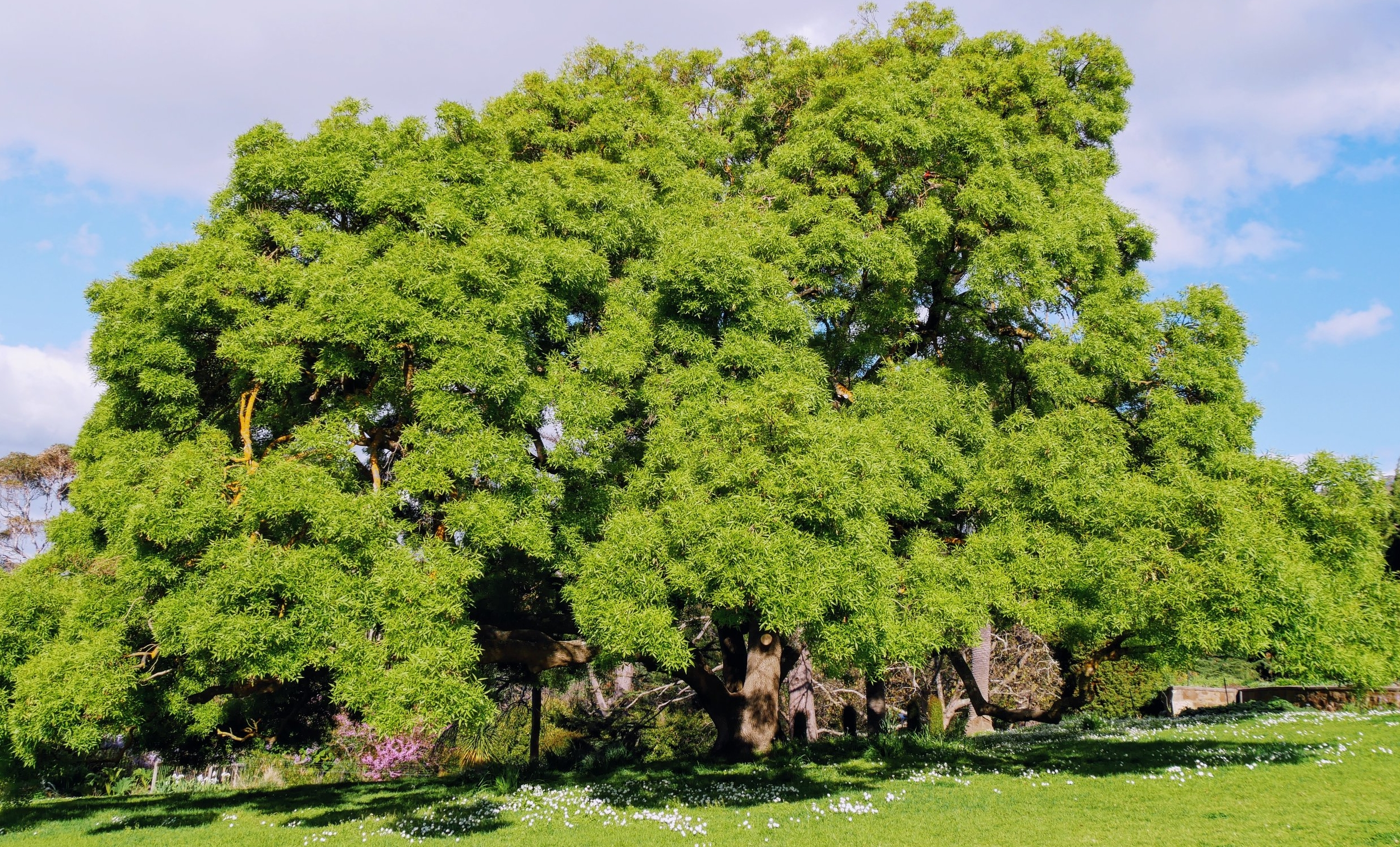 Tree at Heronswood.JPG
