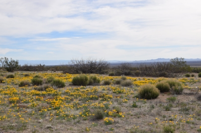 Blooming desert at WSMR