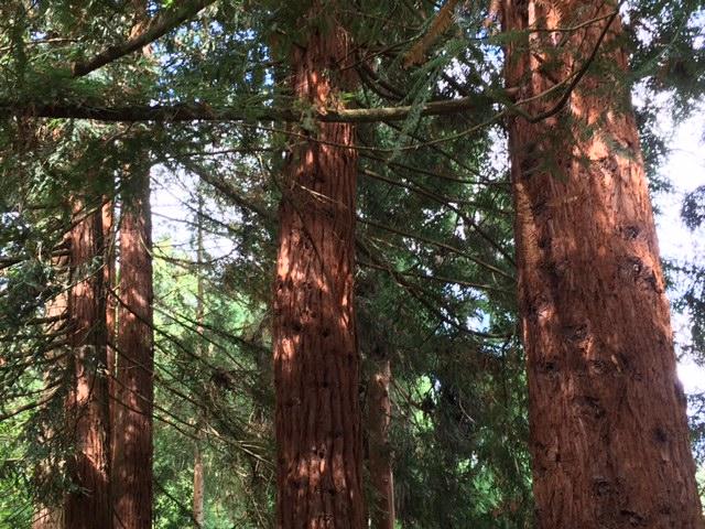tree pruning evergreen trees