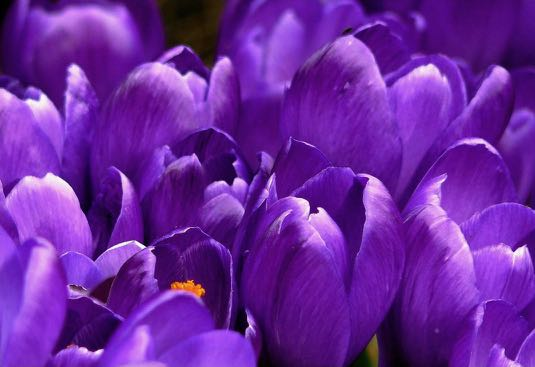 crocus-flower-spring-purple-59992.jpg