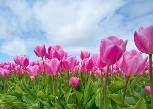 pink-tulip-bulb-field-594413.jpg