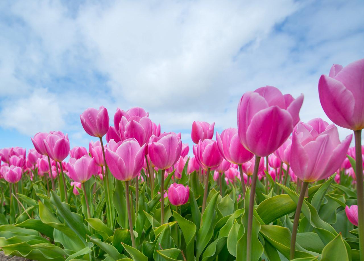 pink-tulip-bulb-field-594413 copy.jpg