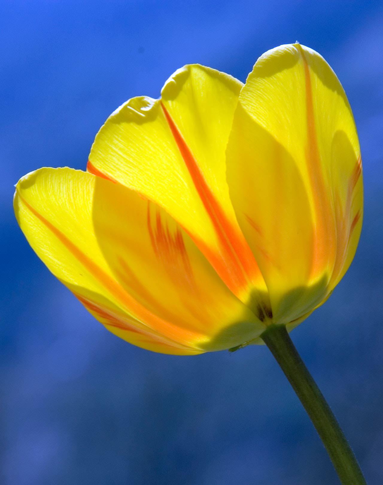 tulip-yellow-spring-flowers-60115.jpeg