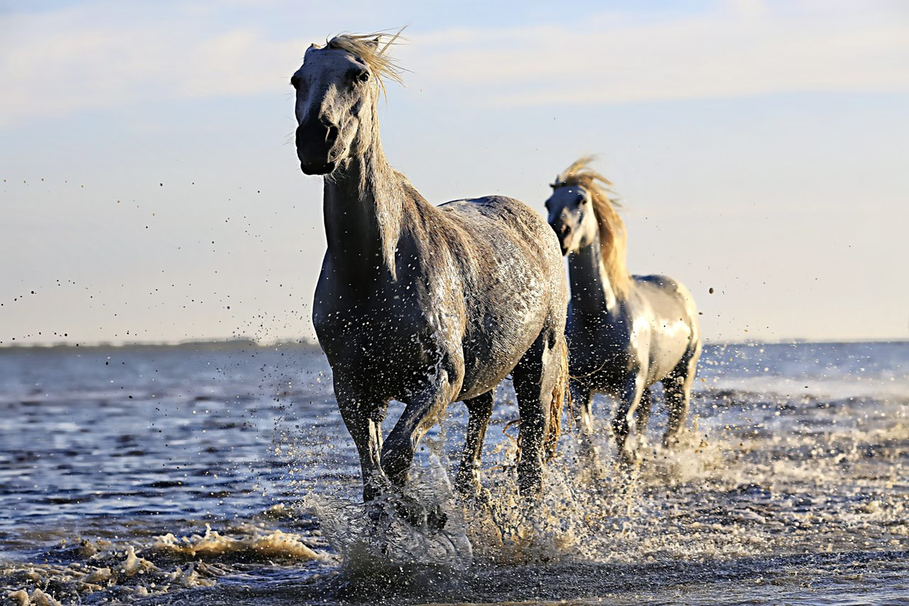 horse-white-horsehair-equine-190934.jpeg