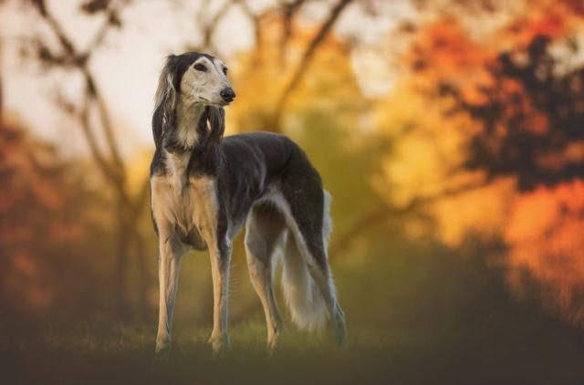 Greyhound - med.jpg