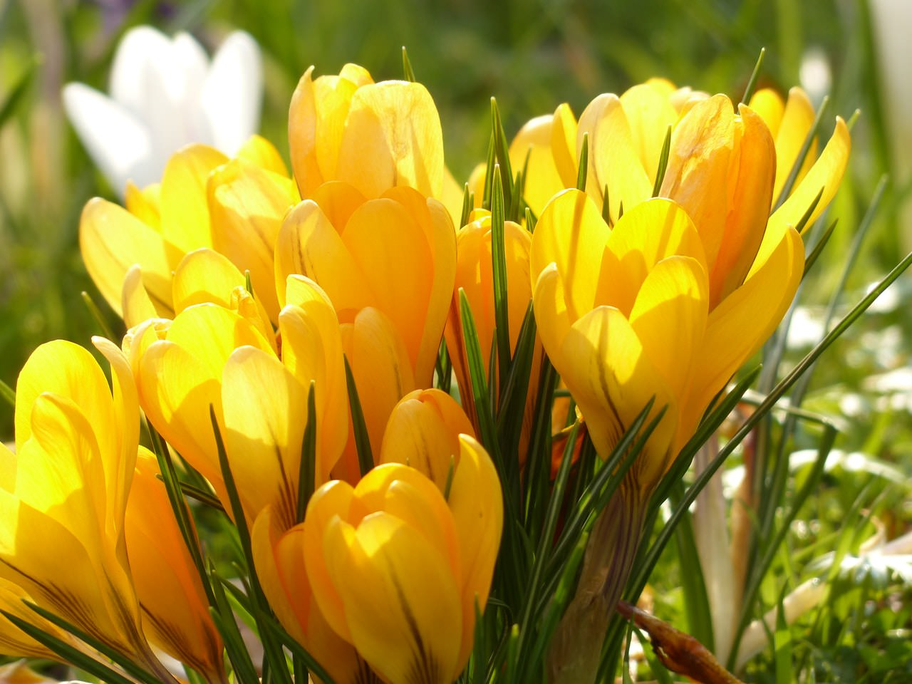 Crocus Yellow White.jpeg