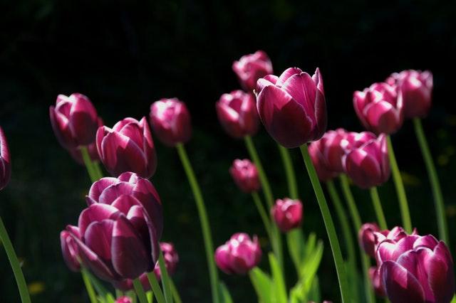 spring-flower-tulips-nature-70344.jpeg