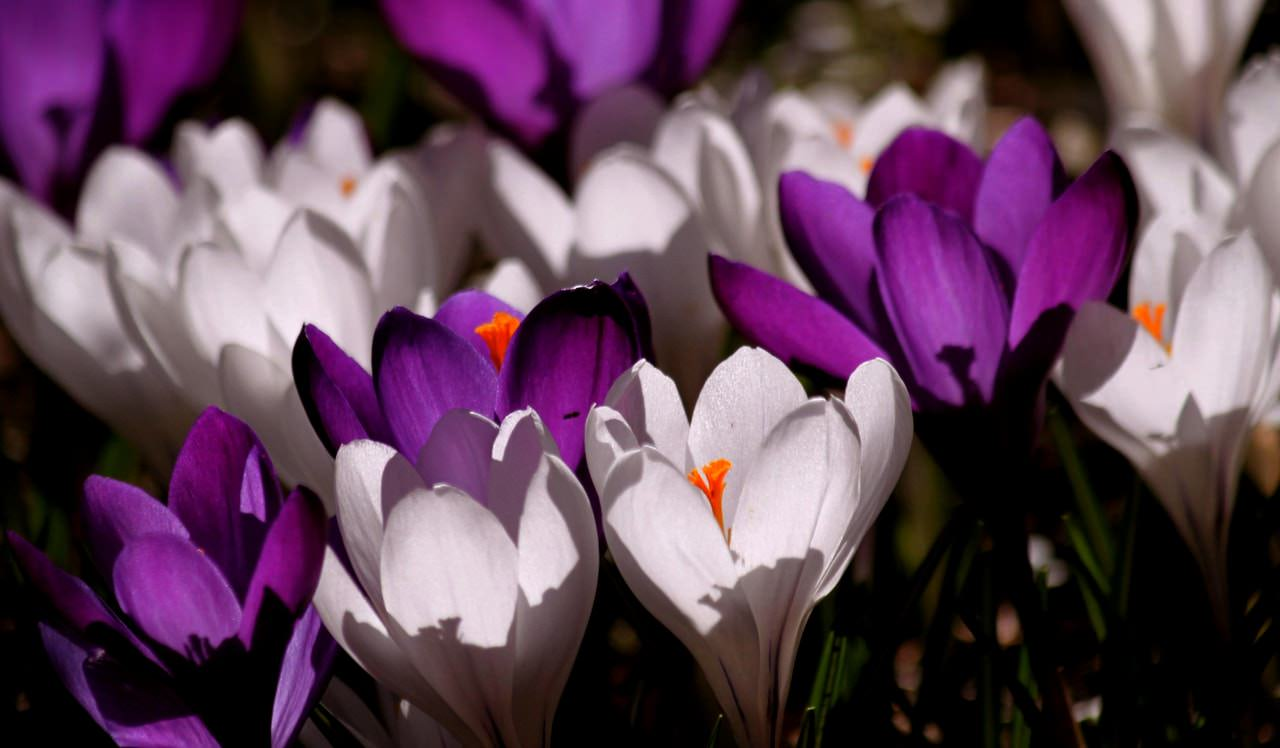 crocus-flower-spring-purple-60120.jpeg