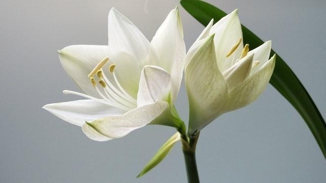 white lily.jpeg