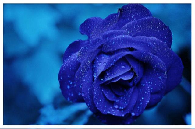 bluerose_frame.jpg