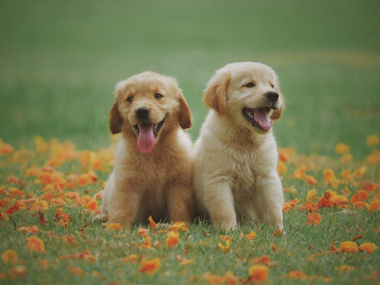 Golden Retriever pups.jpg