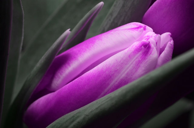 Purple_Tulip_Nested_small.jpg