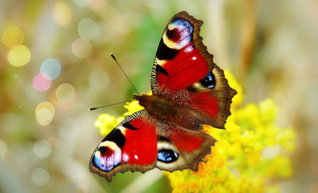 Butterfly_Painted_Peacock_Small.jpg