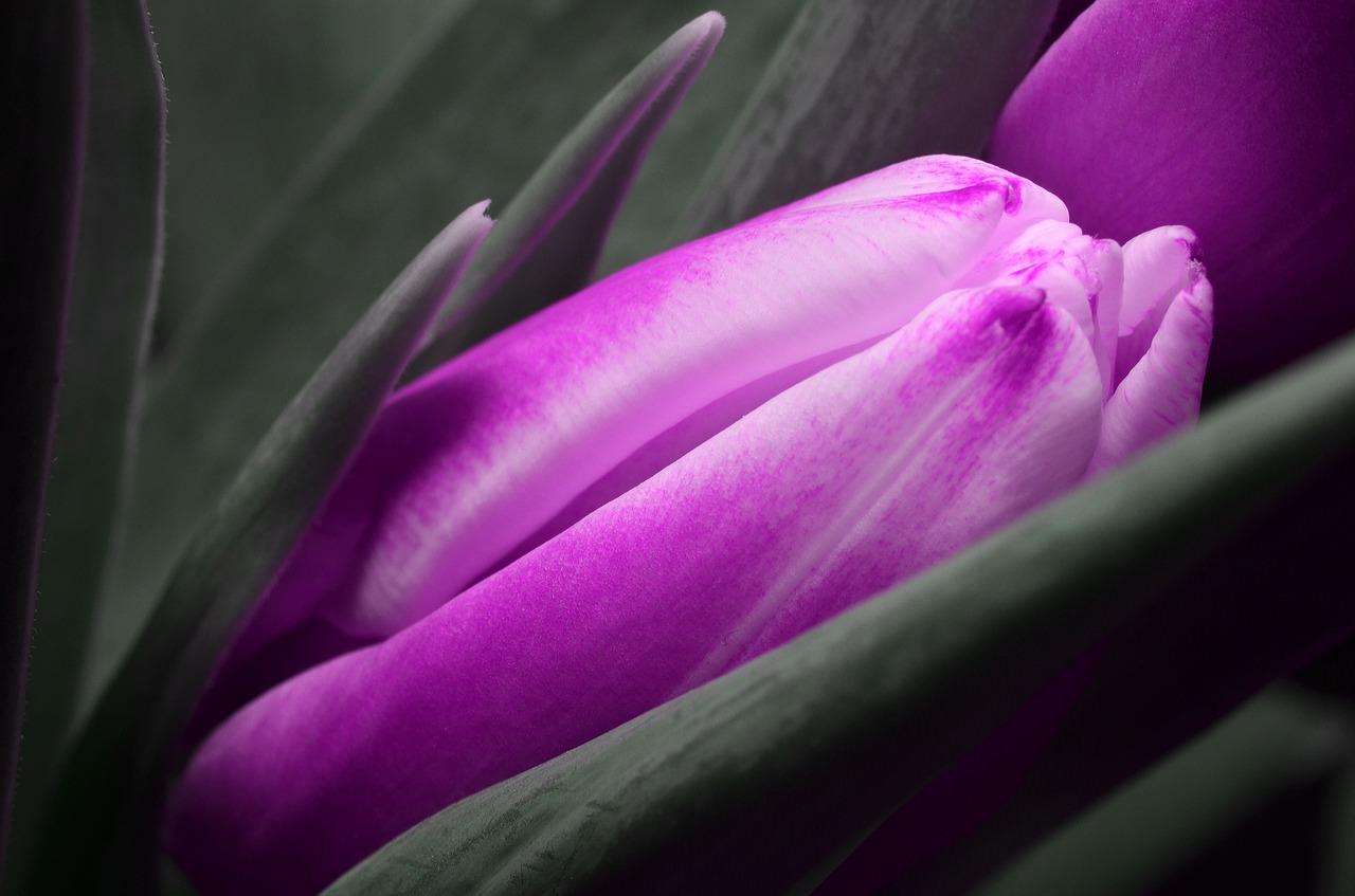 Purple_Tulip_Nested.jpg
