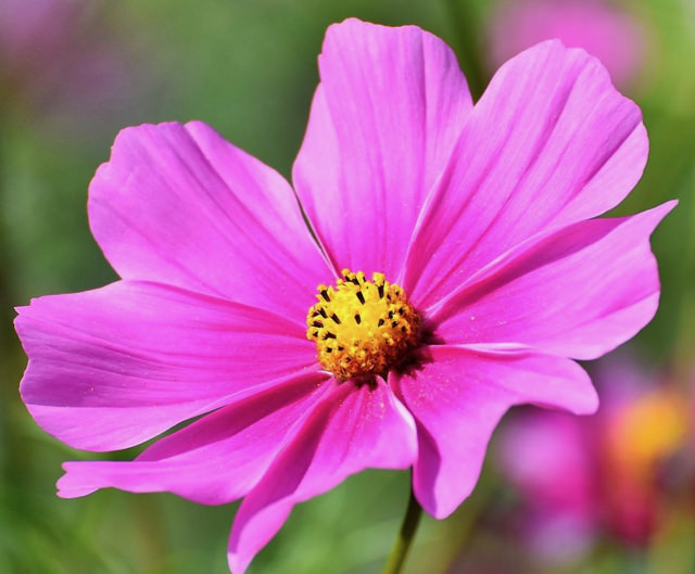 Pink_Daisy.jpg